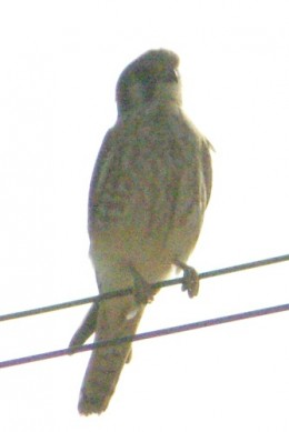 Merlin, I think. A life bird for me.