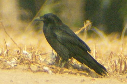 "Common Raven. They say, ""caw, caw"". I always see a few, sometimes as many as 15. Yesterday, there were 4."