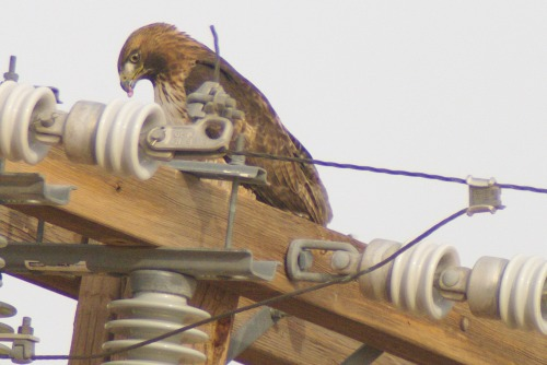 Red-tailed Hawk. Usually they flew off as soon as I stuck my lens out the window. This one stayed because he was eating.
