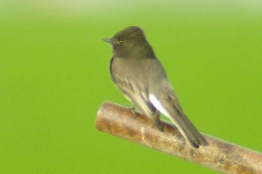 Black Phoebe, I think. Looks a little strange. The handle goes to a gate for the irrigation ditch.