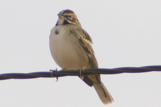 Lark Sparrow. A gorgeous bird, in my opinion.