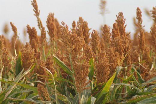 A field of corn?