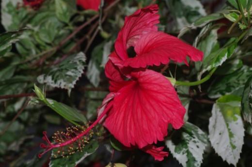 Hibiscus. It makes a refreshing tea.