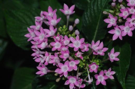 Pentas, Star Flower