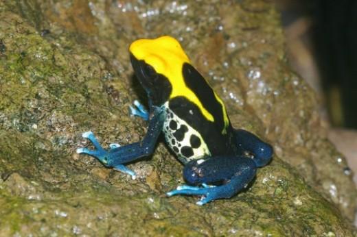 Brazilian Yellow Head. All frogs are Poison Dart Frogs, Dendrobates tinctorius.