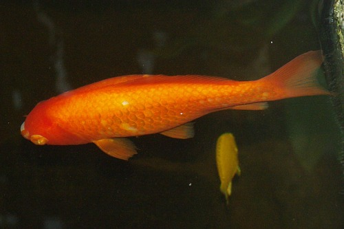 Koi, a kind of carp. There's a black one, too, but it's too dark for a decent picture.