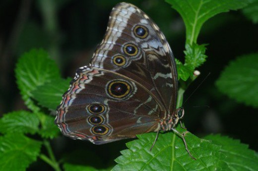 Blue Morpho with wings folded.