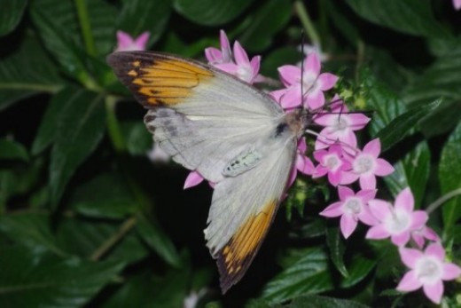 Orange Tip. Smaller versions of this are sometimes seen around our house in the desert.