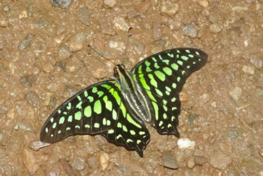 Tailed Jay. From Australia, and they call it something else.