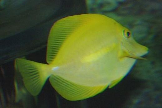 Yellow Tang - Zebrasoma flavescens.