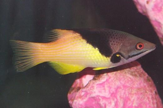 Coral Hogfish - Bodianus mesothorax.