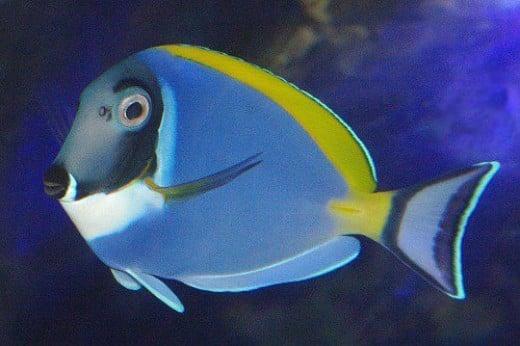 Powder Blue Tang - Acanthurus leucosternon.