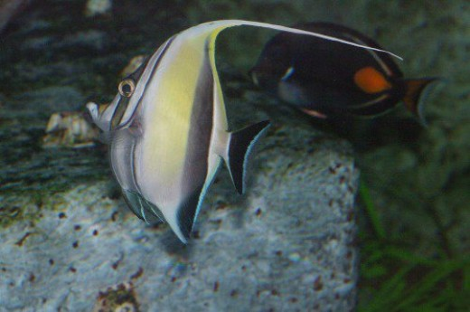 Moorish Idol - Zanclus cornutus. With Achilles Tang in the background.