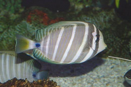 Red Sea sailfin tang, Zebrasoma desjardinii.