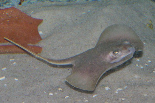 A ray that lives with the sharks.