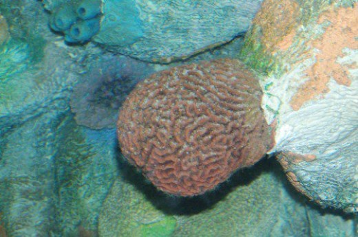 Probably a coral.