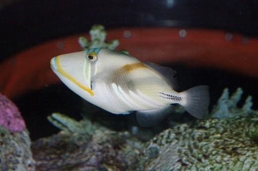 The Hawai'ian name is Humuhumunukunukuapua'a. Reef Triggerfish - Rhinecanthus rectangulus or R. aculeatus. I think the name is longer than the fish!