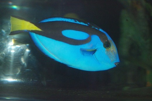 Blue Tang - Paracanthurus hepatus.