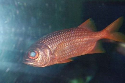 Soldierfish - Myripristis sp.