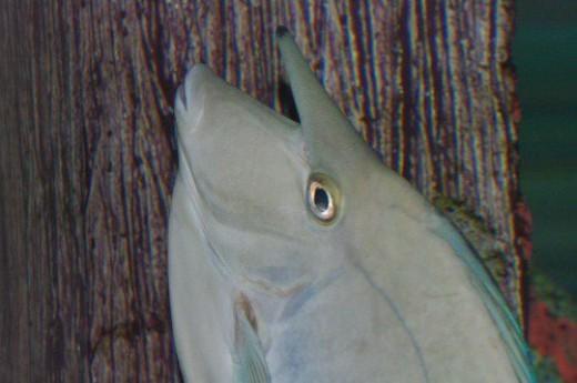 Spotted Unicorn Fish - Naso brevirostris.