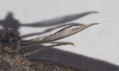 One of the antennas of the Plume Moth.
