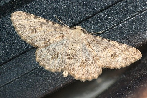 Gematrid Moth. A patterned one.