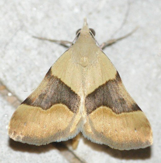 Gematrid Moth. Variations on this pattern are common.