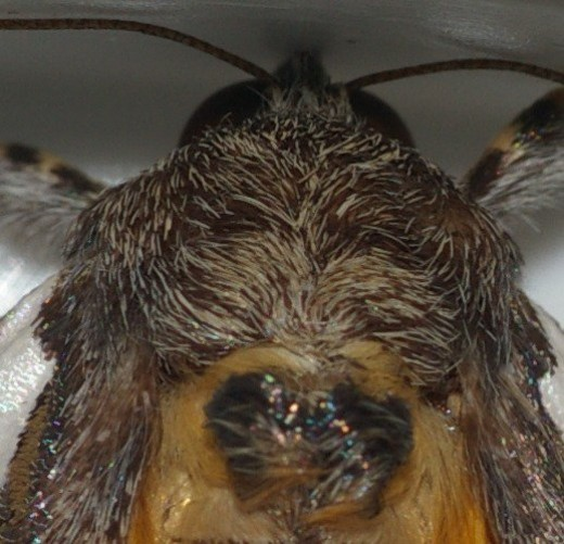 Same moth, closeup of the head and upper body. The details on these little guys are amazing!