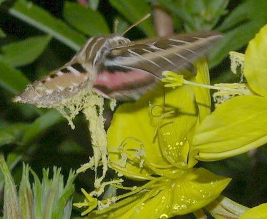 White-lined Sphinx Moth. These are larger, approaching the size of a small hummingbird. Not in my room. Taken by flash after dark.