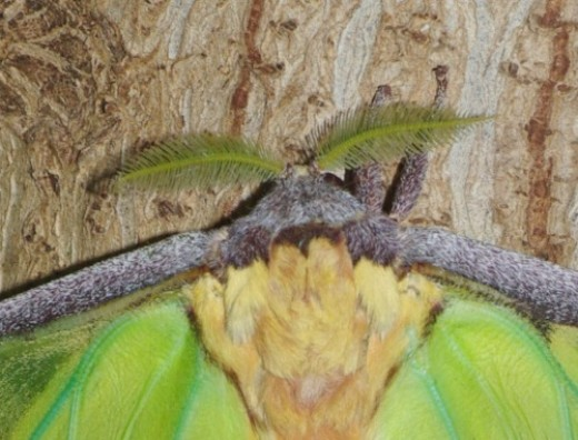 Antennae, head and upper body of an African Moon Moth. This moth is too large for this Lens, too!