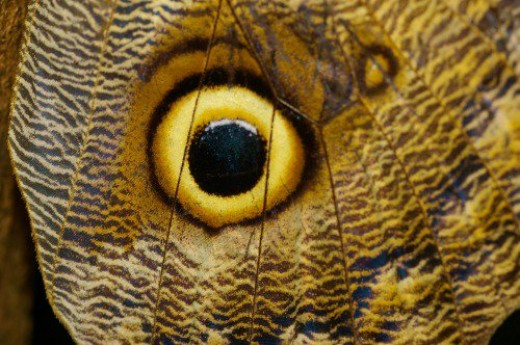 Eye of an Owl Butterfly. In the original photo, you can see individual scales.