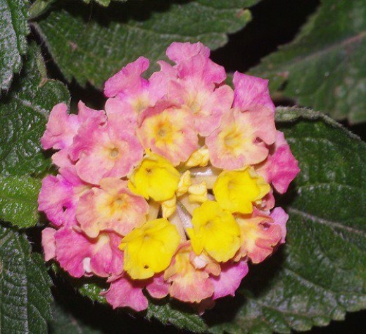 Lantana. Grows in both tropical and desert climates. I like this flower because it's really a bunch of little flowers.