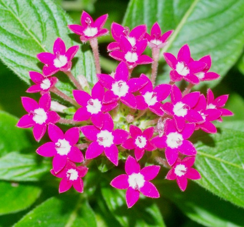 Pentas Star Flower. Tropical.
