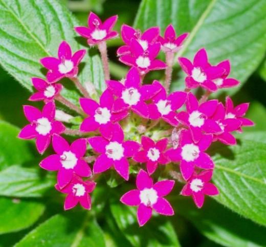Pentas Star Flower. Tropical.
