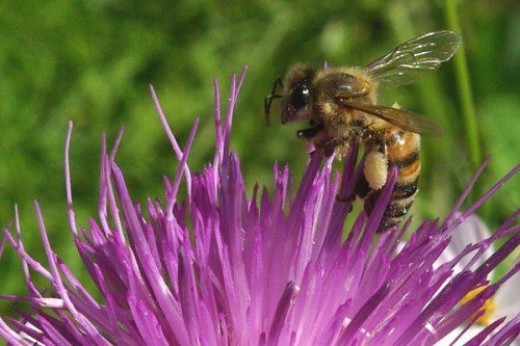Honeybee on New Mexican Thistle.