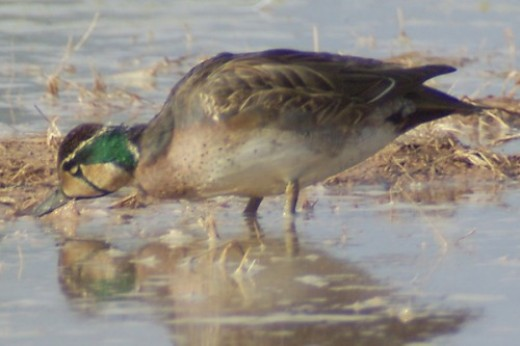 Baikal Teal. Very, very rare. Lives in Siberia and Viet Nam normally.