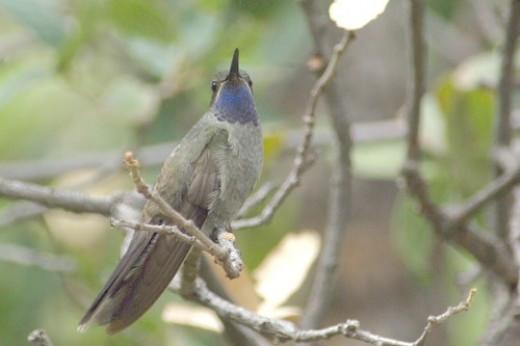 Blue-throated Hummingbird. Fairly rare. Found in the Huachuca Mountains.