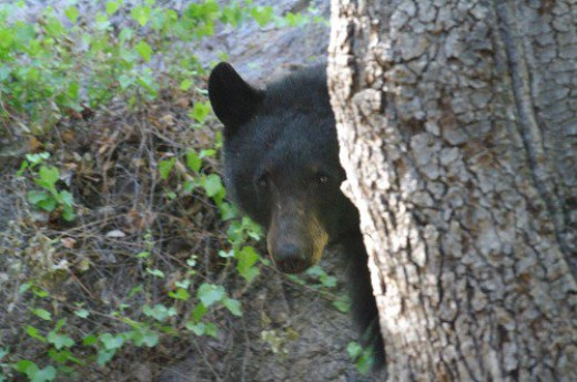 Black Bear. About 6 feet away in Madera Canyon. Was I scared? Nope! He wasn't interested in me, either.