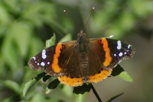 Red Admiral. Found at Agua Caliente.