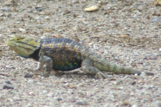 Desert Spiny Lizard. Sweetwater Wetlands, but I see them often.