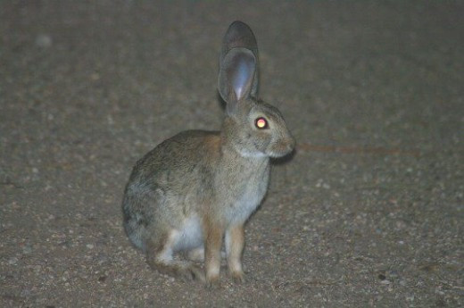 Cottontail Rabbit at night. I was looking for a bobcat, and he told me the bobcat wasn't there.