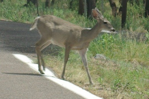 Mule Deer. Seen frequently in the mountains, and in my yard.