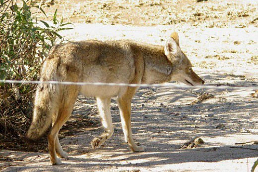 Coyote at Arthur Pack Golf Course. He wanted duck for dinner, but didn't get any.