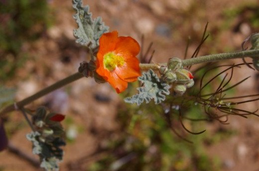 Desert Mallow. If you get it in your eyes, they will be sore. An early bloomer.