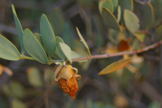 "Jojoba seed pod. ""ho-ho-ba"". Source of the famous cosmetic oil. We have lots of these plants."