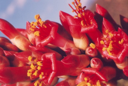 Ocotillo. Hummingbirds like this plant, and so do I. I suck on them like honeysuckle or make punch from them.