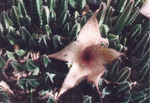 Stapelia, or Carrion Flower. I planted this one. It was a gift from Harrison Yocum (see article about him in my collection).
