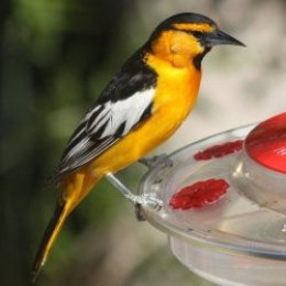 attract the oriole bird to western us yards and parks