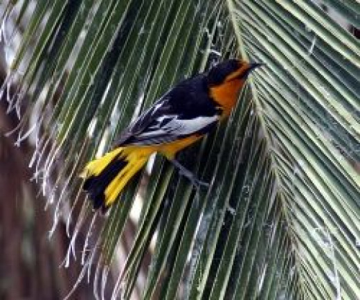 Bullock's Oriole and palm by Just chaos