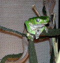 Tree Frog Facts and Pictures